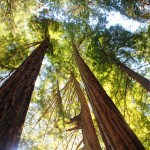 The giant redwoods reach up for the sunny sky