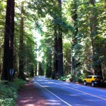 The Avenue of the Giants has many places where you can pull over and walk around