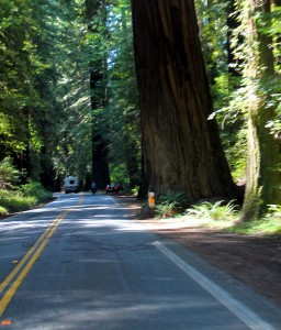 Some of the giant redwoods almost stand on the highway itself